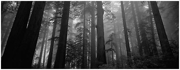 Tall forest in mist. Redwood National Park (Panoramic black and white)