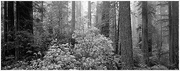 Spring forest with rhododendrons. Redwood National Park (Panoramic black and white)