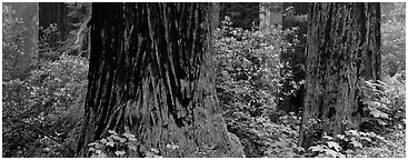 Redwood tree trunks and rhododendrons. Redwood National Park (Panoramic black and white)