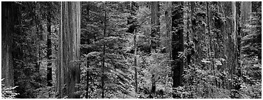 Lush Redwood forest. Redwood National Park (Panoramic black and white)