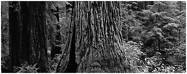 Huge redwood tree trunks. Redwood National Park (Panoramic black and white)