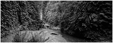 Gorge with fern-covered walls. Redwood National Park (Panoramic black and white)