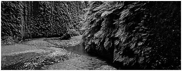Stream in Fern Canyon. Redwood National Park (Panoramic black and white)