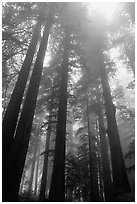 Tall redwood trees in fog, Lady Bird Johnson grove. Redwood National Park, California, USA. (black and white)