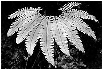 Single fern, Fern Canyon. Redwood National Park, California, USA. (black and white)