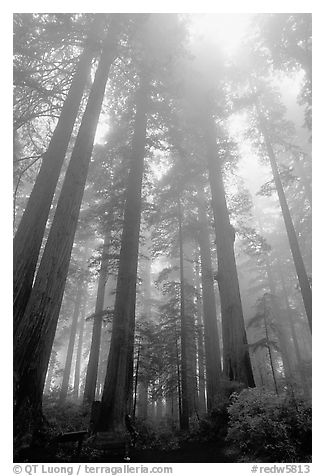 Visitor dwarfed by Giant Redwood trees. Redwood National Park (black and white)