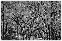 Oaks in winter. Redwood National Park ( black and white)