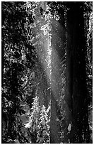 Snow falling from sequoias. Sequoia National Park, California, USA. (black and white)