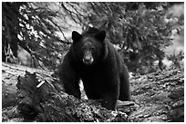 Black bear, frontal portrait. Sequoia National Park, California, USA. (black and white)