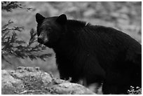 Black bear, Lodgepole. Sequoia National Park, California, USA. (black and white)
