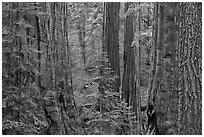 Red bark of Giant Sequoia contrast with green leaves. Sequoia National Park, California, USA. (black and white)