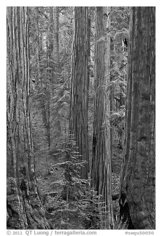 Sequoias forest. Sequoia National Park, California, USA.