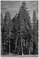 Sequoia trees at the edge of Round Meadow. Sequoia National Park, California, USA. (black and white)