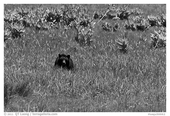 Black bear in Round Meadow. Sequoia National Park, California, USA.