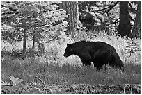 Black bar in forest, Round Meadow. Sequoia National Park, California, USA. (black and white)