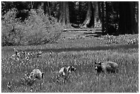 Mother and bear cubs with sequoia trees behind. Sequoia National Park, California, USA. (black and white)