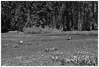 Round Meadow with bear family. Sequoia National Park, California, USA. (black and white)