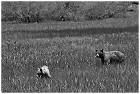 Mother bear and cub grazing in Round Meadow. Sequoia National Park, California, USA. (black and white)