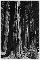 Sunlit sequoia forest. Sequoia National Park, California, USA. (black and white)