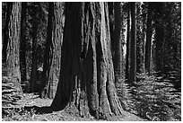 Sunlit sequoia trees. Sequoia National Park, California, USA. (black and white)