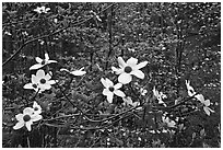 Dogwood flowers. Sequoia National Park, California, USA. (black and white)