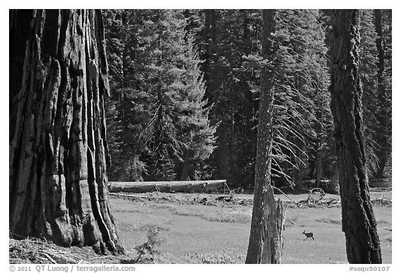 Huckleberry Meadow, sequoia and deer. Sequoia National Park, California, USA.