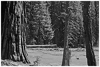 Huckleberry Meadow, sequoia and deer. Sequoia National Park, California, USA. (black and white)