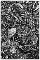 Close-up of fallen sequoia cones. Sequoia National Park, California, USA. (black and white)