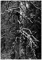 Trunk and snow-covered branches of tree in El Capitan meadow. Yosemite National Park ( black and white)
