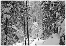 Snowy trees in winter. Yosemite National Park, California, USA. (black and white)