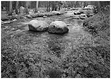 Lupine, boulders, Tuolumne River in forest. Yosemite National Park ( black and white)
