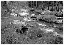 Stream and wildflowers, Tuolunme Meadows. Yosemite National Park ( black and white)