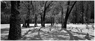 Oak Trees and snow, El Capitan Meadow. Yosemite National Park (Panoramic black and white)