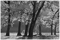 Black oaks in early fall foliage, El Capitan Meadow, morning. Yosemite National Park, California, USA. (black and white)