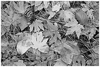 Fallen maple and dogwood leaves, pine needles and cone. Yosemite National Park ( black and white)
