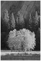 Aspens, Pine trees, and cliffs, late afternoon. Yosemite National Park ( black and white)