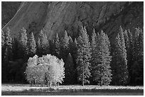 Aspens in fall foliage, evergreens, and cliffs. Yosemite National Park, California, USA. (black and white)