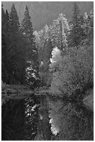 Sunlit autumn tree, Merced River. Yosemite National Park ( black and white)