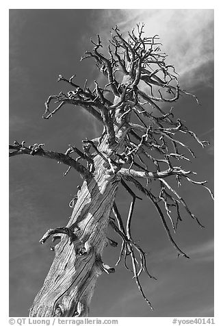 Dead Lodgepole Pine. Yosemite National Park, California, USA.