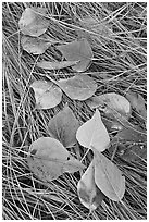 Frosted aspen leaves and grass. Yosemite National Park, California, USA. (black and white)