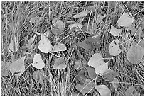Leaves and grass with frost. Yosemite National Park, California, USA. (black and white)
