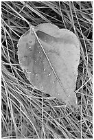 Close-up of Frosted aspen leaf. Yosemite National Park, California, USA. (black and white)