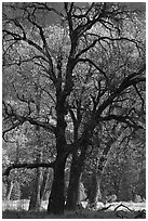 Oaks and sparse autum leaves, El Capitan Meadow. Yosemite National Park ( black and white)