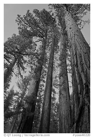 Sequoia trees at dusk, Mariposa Grove. Yosemite National Park, California, USA.