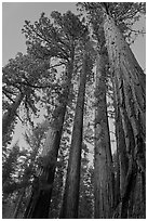 Sequoia trees at dusk, Mariposa Grove. Yosemite National Park, California, USA. (black and white)