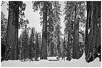 Giant sequoias, Upper Mariposa Grove, Museum, and snow. Yosemite National Park, California, USA. (black and white)