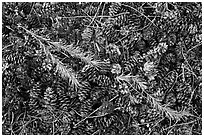 Close-up of pine cones and needles. Yosemite National Park, California, USA. (black and white)