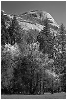 Apple tree in bloom and North Dome. Yosemite National Park, California, USA. (black and white)