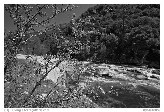 Redbud in bloom and Merced River, Lower Merced Canyon. Yosemite National Park (black and white)