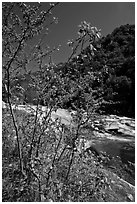 Redbud tree and Merced River, Lower Merced Canyon. Yosemite National Park ( black and white)